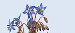 La borraja (Borago officinalis L.)